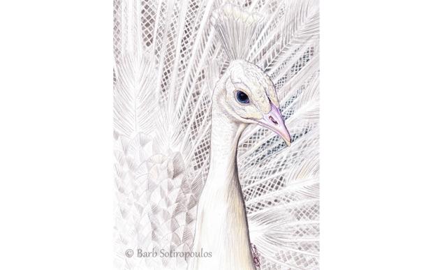White Peacock_Barb Sotiropoulos