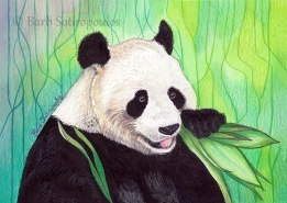 """Giant Panda"" 6.25 ×4.5 in, Colored Pencil, Watercolor and Acrylic Paint on Strathmore Mixed Media Paper 2015. All images copyright Barb Sotiropoulos. All Rights Reserved. (Prints Available)"