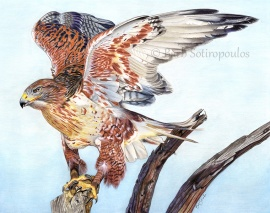 """""""Taking Flight"""" 14x11 in Faber-Castell Polychromos Colored Pencil on Fabriano Artistico Hot Press Watercolor Paper 2017.Original photo reference Wildlife Reference Photos. Copyright released. All images copyright Barb Sotiropoulos. All Rights Reserved. (Available for Purchase)"""
