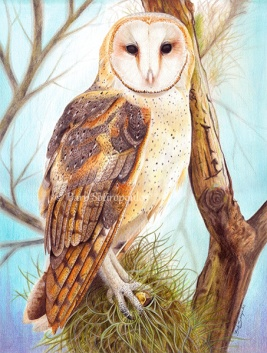 """Tyto Alba"" 11.5×15.25 in, Colored Pencil on Fabriano Artistico Hot Press Watercolor Paper 2016. Original photo reference Wildlife Reference Photos. Copyright released.