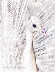 """""""White Peacock""""8.5x11 in, Colored Pencil and White Gel Penon Strathmore Bristol Smooth2015. Original photo reference Sally Robertson. Copyright released. All images copyright Barb Sotiropoulos. All Rights Reserved. (Prints Available)"""
