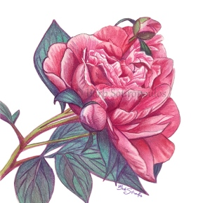 """Pretty In Pink - I"" 7x7 in Prismacolor Verithins and Faber-Castell Albrecht Dürer Watercolor Pencils on Fabriano Artistico Hot Press Watercolor Paper 2018.  All images copyright Barb Sotiropoulos. All Rights Reserved."