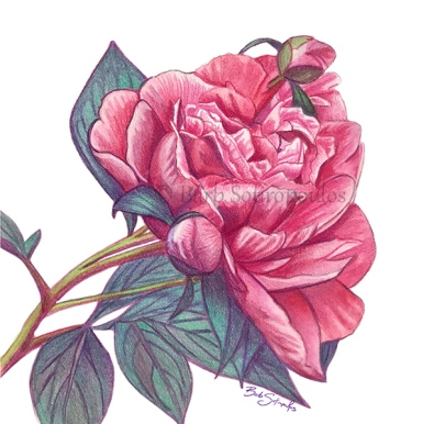 """""""Pretty In Pink - I"""" 7x7 in Prismacolor Verithins and Faber-Castell Albrecht Dürer Watercolor Pencils on Fabriano Artistico Hot Press Watercolor Paper 2018. All images copyright Barb Sotiropoulos. All Rights Reserved."""